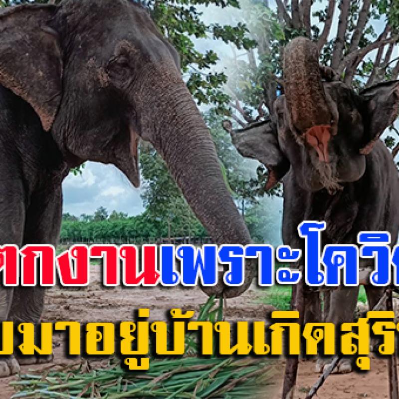 ควาญช้างตกงานจากภูเก็ต กลับบ้านเกิด มาสู้ชีวิตอยู่ทุ่งนาปลายนา